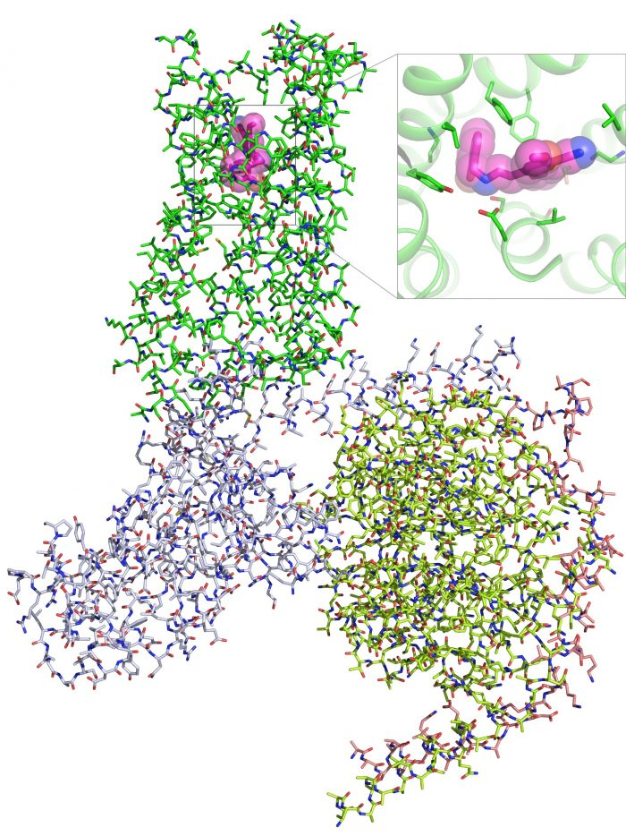 This illustration shows the chemical architecture of amino acids that make up the 5-HT2A serotonin receptor complex bound to a psychedelic compound (pink, top). (Roth Lab)