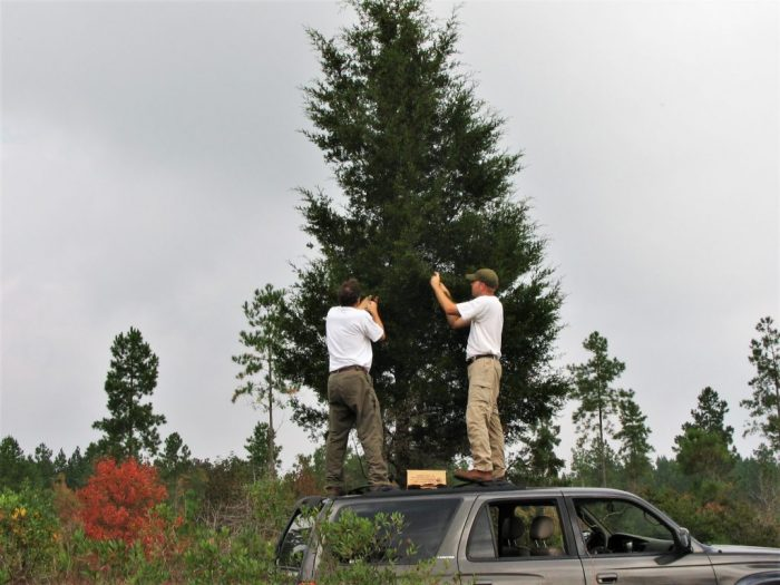 Johnny Randall (L) and Michael Kunz (R) collect seeds of Atlantic White Cedar (Chamaecyparis thyoides) in the North Carolina Coastal Plain. Photo by Andrew Bell.