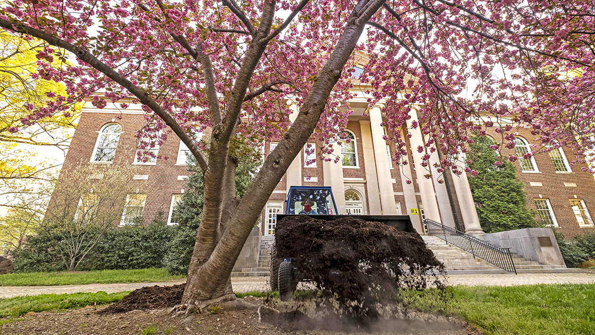 """Ryan Talley dumps a load of mulch around a cherry tree near by Manning Hall. Talley and three other groundskeepers have worked in the historic area of campus throughout the pandemic. """"To say that I enjoyed it would be wrong,"""" Talley said. """"I wish the Coronavirus had never happened, but it was nice at times to do my own thing. I had Polk Place, and that's enough to do there with maintenance and upkeep."""""""