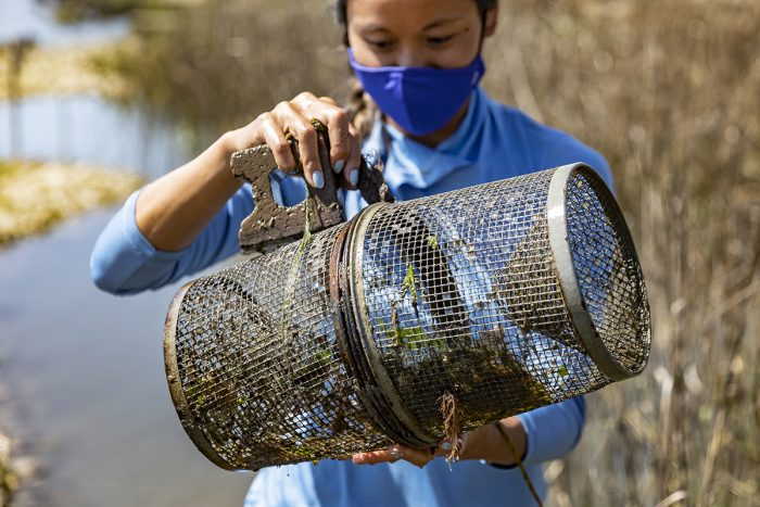 Zhang checks a fish trap at the saltmarsh and oyster reef habitat near the IMS shorefront.
