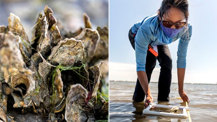 Postdoctoral researcher Stacy Zhang measures the size of oyster clusters on a nearby oyster reef.
