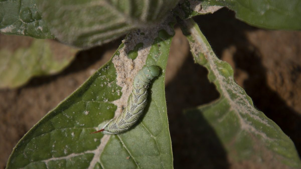 A tobacco hornworm caterpillar sits on a tobacco leaf at the North Carolina Department of Agriculture and Consumer Services' research station in Clayton, NC.